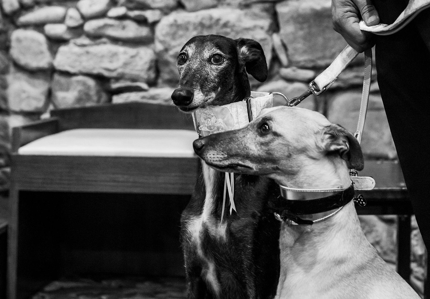 Galgos en la boda de sus dueños